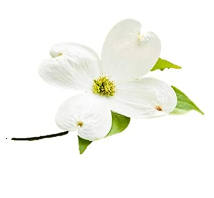 Amazon white flowering dogwood tree healthy established white flowering dogwood tree healthy established plant flowering 1 gallon potted 1 mightylinksfo