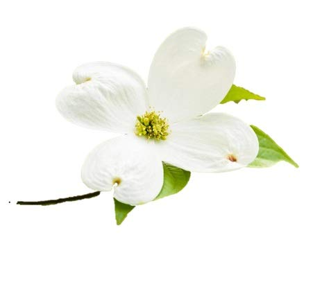 - White Flowering Dogwood Tree - Healthy Established Plant - Flowering - 1 Gallon Potted - 1 Plant by Growers Solution
