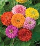 seed kingdom Zinnia California Giant Mix Nice Garden Flower By BULK 5,000 Seeds