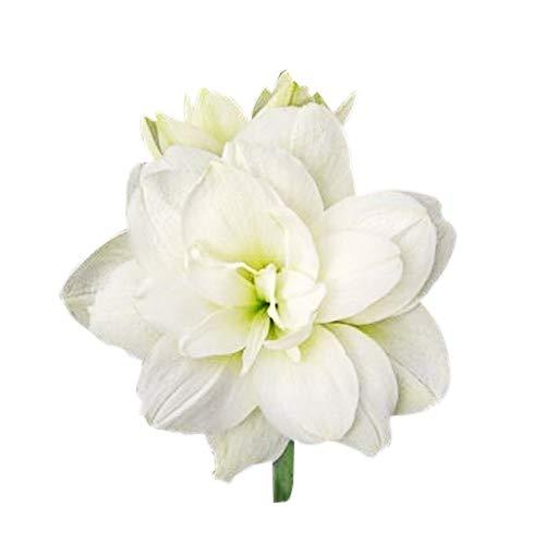 Marquise - Double White Amaryllis - 28-30 cm.