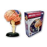 スカイネット 立体パズル 4D VISION 人体解剖 No.12 脳解剖モデル