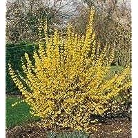 IDEA HIGH Forsythia Intermedia Lynwood Gold, Plant in 9cm Pot