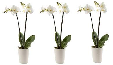 Color Orchids Live Double Stem Phalaenopsis Orchid in Ceramic, 20-24'', Assorted (3-(Pack)) by Color Orchids