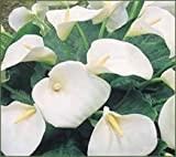 5 Calla lily GIANT White Aethiopica bulb