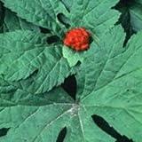 Goldenseal Root, Powder - Wildcrafted - Hydrastis canadensis (454g = One Pound) Brand: Herbies Herbs