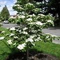 Cornus Nuttalli Pacific Dogwood Trees