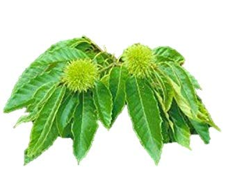 American Chestnut Tree - Hybrid - Castanea dentata X mollissima - Heavy Established - 2 Gallon Potted -1 Plant by Growers Solution by Grower's Solution (Image #5)