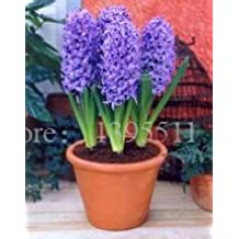 2015 hyacinth bulb,1 pcs bulb hyacinth flower Bonsai balcony flower seeds for home garden planting
