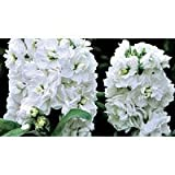 50+ Evening Scented Stock Cinderella White Flower Seeds / Highly Fragrant Long Lasting Annual Review