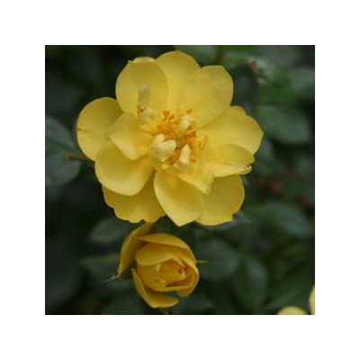 Rose-OSO-Easy-Lemon-Zest - QT Pot (Shrub) : Garden & Outdoor