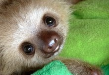 Nature Animals Sloth Baby Animals Mouse Pad, Mousepad (10.2 X8.3 X 0.12 Inches) -