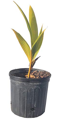 Coconut Palm Tree, Yellow Malayan Dwarf 2 feet, 3-gal Container from Florida (Coconut Tree Seeds)