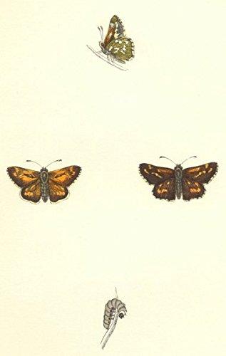 BUTTERFLIES. Silver- Spotted Skipper (Morris) - 1868 - old print - antique print - vintage print - Butterflies art prints