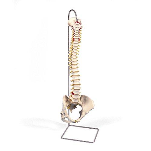 3B Scientific A58/4 Classic Flexible Spine Model with Female Pelvis, 29.1