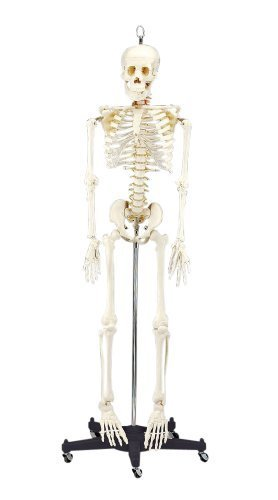 Budget Bart Skeleton Model 4 Ft 2 In by Anatomical Chart Company