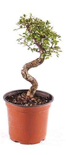 Brussel's Bonsai Live Chinese Elm Outdoor Bonsai Tree 8 Years Old; 8
