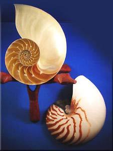 Nautilus Outdoor Shell - KARPP Center Cut Tiger Nautilus Shell Seashell (6-7