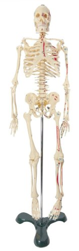 Painted and Numbered Big Tim Skeleton Model CMS65 -