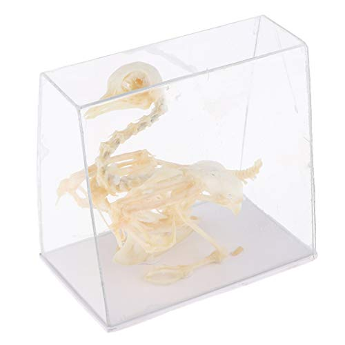 CUTICATE Animal Skeleton Model - Pigeon Bone Specimen Sculpture with Display Case, Student Biology/Science Teaching Aids ()