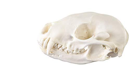 Real Raccoon Skull - Perfect