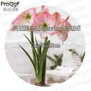 - 3Pcs A Set Hippeastrum rutilum Amaryllis Flower Bulb - (Color: Apple Blossom)