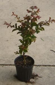 Crape Myrtle Trees - Box of 4 Trees - Quart Pot - Approx. 1 foot tall … by CrapeMyrtleGuy (Image #3)
