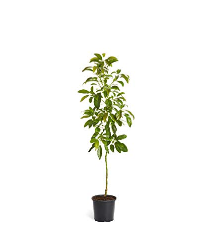 HASS Avocado Tree - Large Indoor/Outdoor Avocado Trees, Ready to give Fruit - Get Delicious Avocado Fruit Year Round from This Patio Fruit Tree - 3-4 ft. - Cannot Ship to AZ