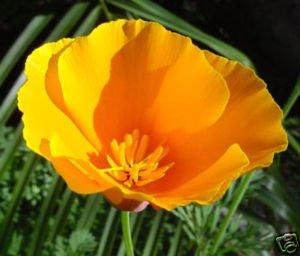 Image of Poppy California Orange Nice Garden Flower Seeds By Seed Kingdom (1,000