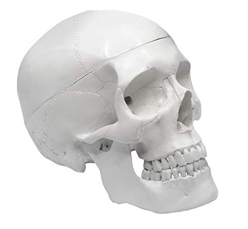 Human Adult Skull Anatomical Model, Medical Quality, Life Sized (9