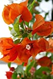 New 1 PCS Bougainvillea Orange King Bougainvillea Glabra Starter plant