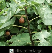 Celeste Fig Tree-Shipped in Soil on Foam Cushion, Five Gallon Container