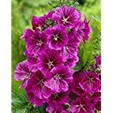 "-Bulk- Mystic Merlin MALLOW-Blue/Purple ""Malva Sylvestris"" 250+Perennial Seeds"