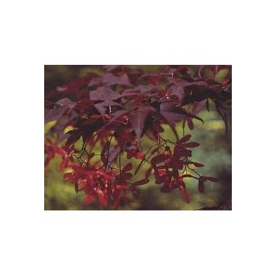 Bloodgood Red Japanese Maple - 1 Year Graft : Tree Plants : Garden & Outdoor