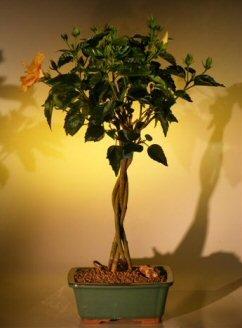 Bonsai Boy's Flowering Mango Mist Tropical Hibiscus - Braided Trunk Style rosa sinensis by Bonsai Boy