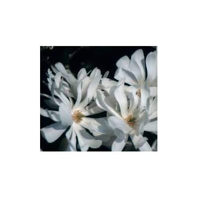 (2 Gallon) Royal Star Magnolia, Elegance and Beauty, Hardy Magnolia for Cold Climate, Fragrant White Flowers, Flowers Appear Weeks Ahead of Other Spring Flowering shrubs and Plants, : Garden & Outdoor