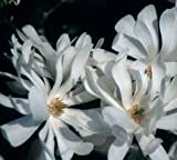 (2 gallon)ROYAL STAR Magnolia, elegance and beauty, Hardy Magnolia for Cold Climate, Fragrant White Flowers, flowers appear weeks ahead of other spring flowering shrubs and plants,