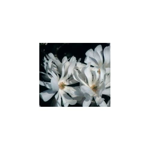 Nice (3 gallon)ROYAL STAR Magnolia, elegance and beauty, Hardy Magnolia for Cold Climate, Fragrant White Flowers, flowers appear weeks ahead of other spring flowering shrubs and plants,(Hydrangeas Shrub, Evergreens, Gardenia