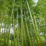 Phyllostachys Rubromarginata, Red Margin Bamboo #1 Size Live Plant