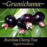Cutdek ~Grumichama~ Eugenia brasiliensis Brazilian Cherry Tree Small 6-12+in Potd Plant
