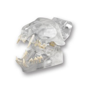 Feline Radiopaque Teeth Imaging Dentoform Dental Model (Anatomy Chart Feline)