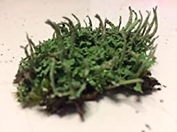 Live Pityrea Cladonia 2 Pack Lichen for Terrariums Gardens Bonsai Crafts