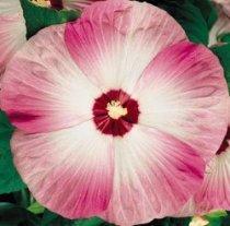 Amazoncom 10 Luna Pink Swirl Hardy Hibiscus Flower Seeds