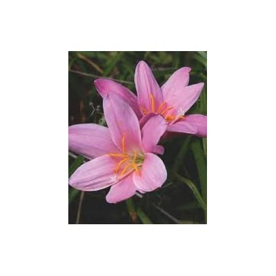 Pink (Rain Lilies) 12 Bulb Amazing Rare Color!Imported from BGBULBS.: Garden & Outdoor