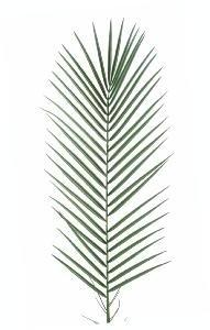 palmier 95