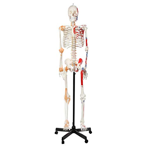 Painted Flexible Life Size Skeleton Model Skeleton Has Flexible Spine, Muscle Insertion and Origin Points Includes Base