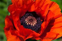 10,000 Red Oriental Poppy Seeds - (Oriental Poppies Seed)
