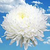 Amazon eflowy 100 white spider mums chrysanthemum globalrose 50 fresh cut white chrysanthemum disbud flowers fresh flowers for birthdays weddings or mightylinksfo