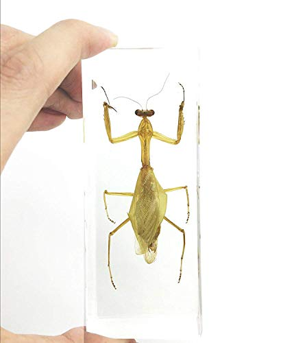 (Praying Mantis(Mantis)(rearhorse) Paperweight Specimen Science Education Specimens(4.4x1.6x1.1