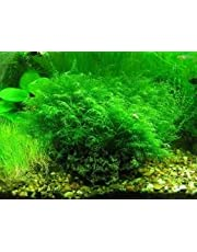 zumari 100 Aquarium Moss Plant Seeds Green.