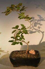 Bonsai Boy's Copper Beech Bonsai Tree Trained S shaped trunk fagus sylvatica 'purpurea'
